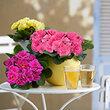 AVEVE verkoopt Think Pink Primula ten voordele van borstkankeronderzoek
