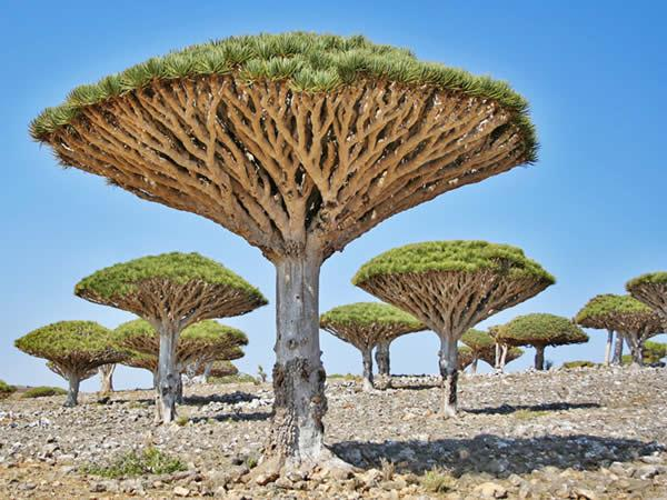 dragonniers socotra yemen