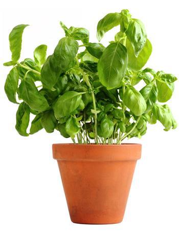 Basilicum 10 middeltjes om insecten buiten te houden - Ou planter le basilic ...