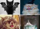 Chats dingos et fous félins