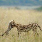 Le guépard et son petit