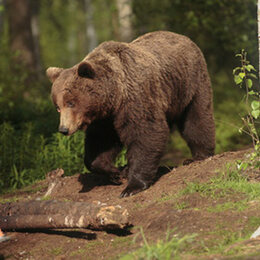 10. L'ours