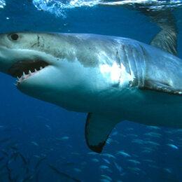 9. Le requin