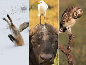 Hoe dieren om ter grappigst uit de hoek kunnen komen