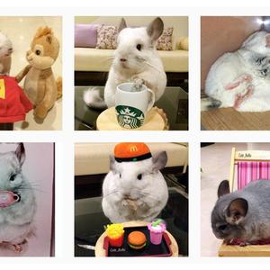 Un chinchilla qui a fi re allure 10 utilisateurs suivre sur instagram - Qui suivre sur instagram ...