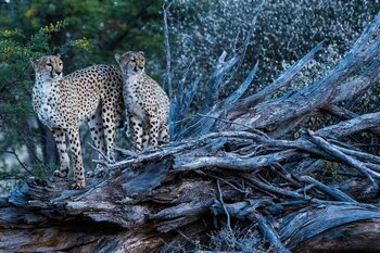 Zondag: Cheetah Family and Me