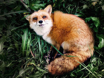 Juniper le renard – 1,5 million d'abonnés