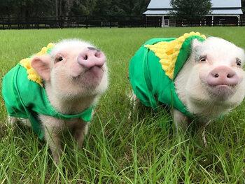 Priscilla et Poppleton les cochons – 673 000 abonnés