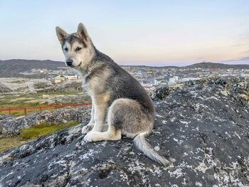 Northern Inuit Dogs