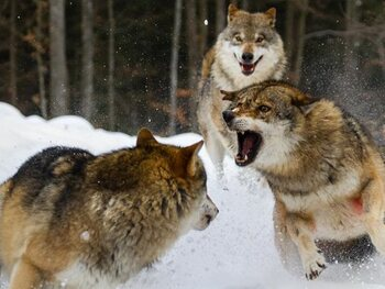Digitale projecties van echte wolven