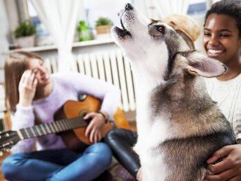 Te grote populariteit van de husky