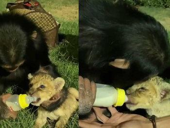 De chimpansee en het leeuwenwelpje