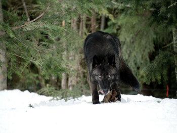 Le territoire des loups
