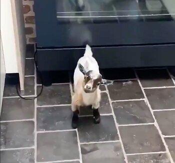 'Hallo, ik ben geit.'
